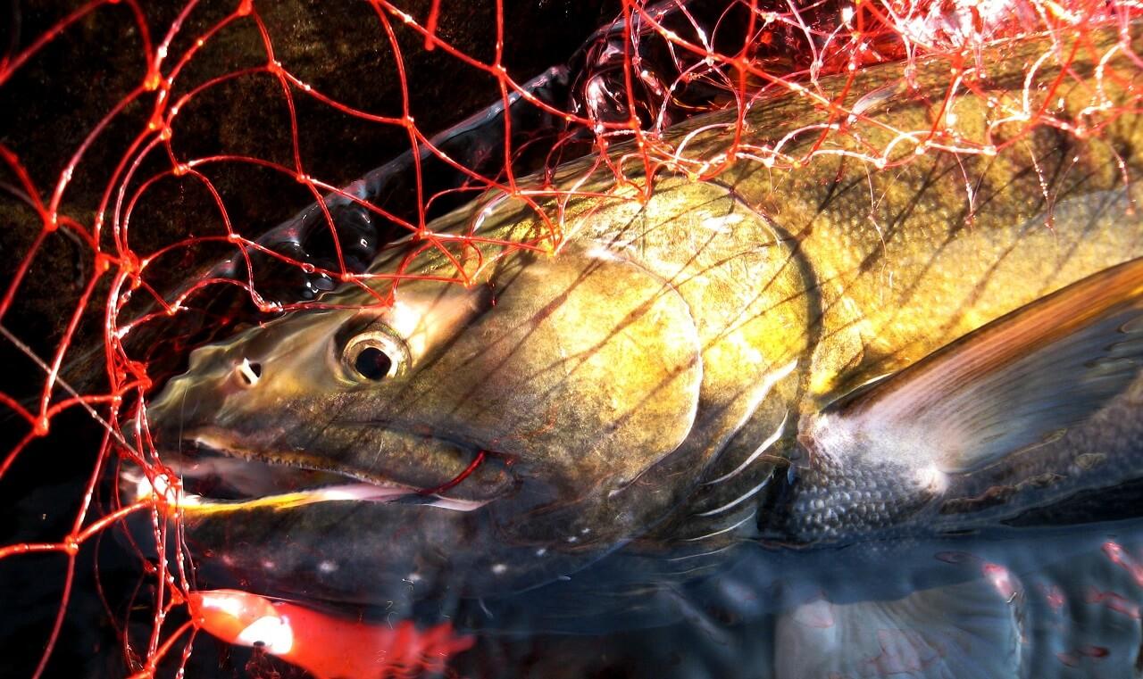 salmon caught on honryu-fishing