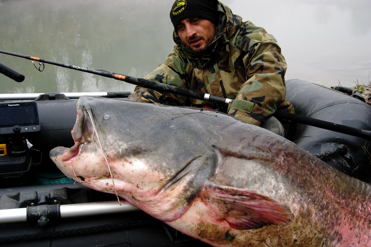 big wels catfish on catfish/GT rod EQUES